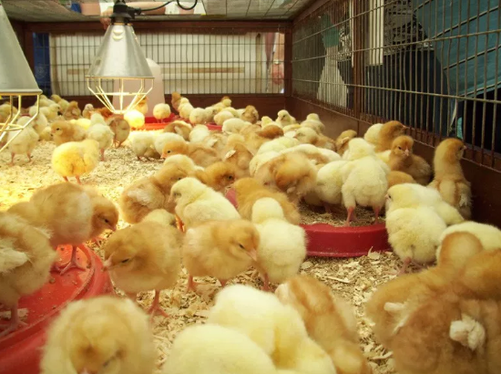 How Much Does it Cost to Start a Poultry Farm in Nigeria?